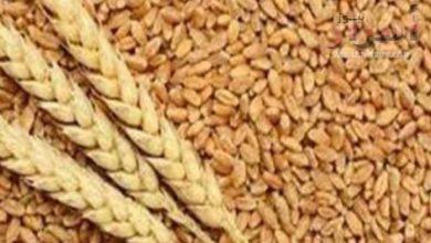صورة هل حقيقه أم خيال قريباً محصول القمح سيكفينا ذاتياً ولا نحتاج إستيرادة من الخارج ؟؟